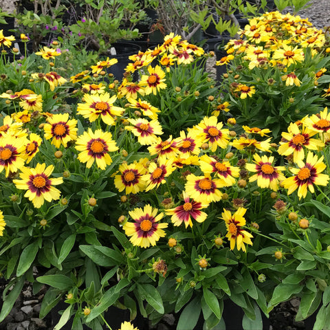 Coreopsis 'UpTick Yellow & Red'<h3>UpTick Coreopsis</h3>