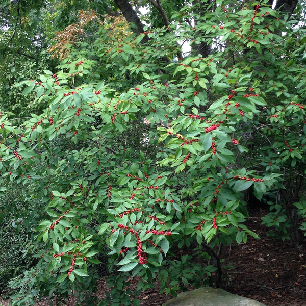 Ilex verticillata 'Winter Red'<h3>Winter Red Holly</h3>