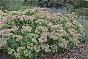 Sedum spectabile 'Autumn Fire'<h3>Showy Stonecrop</h3>