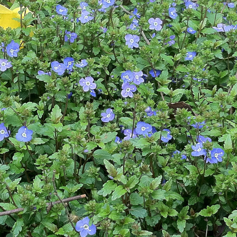 Veronica peduncularis 'Georgia Blue'<h3>Creeping  Speedwell</h3>