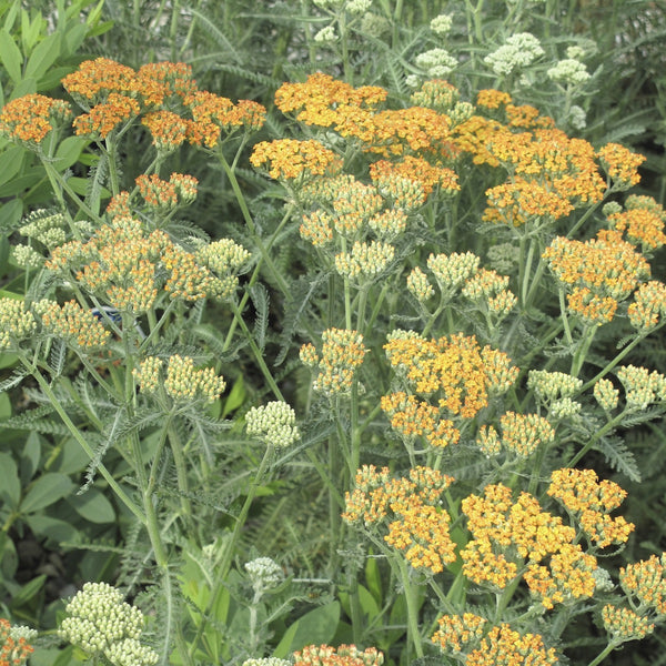 Yellow perennials flowering perennials perennial garden terra cotta yarrow mightylinksfo