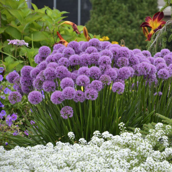 Purple perennials flowering perennials purple perennial flowers ornamental onion mightylinksfo
