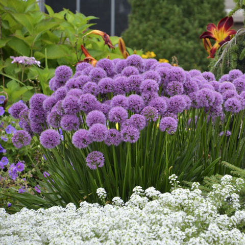 Allium 'Millenium'<h3>Ornamental Onion</h3>