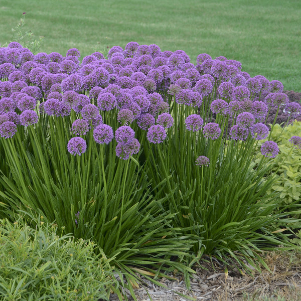 Purple Allium: Shop For Ornamental Onion