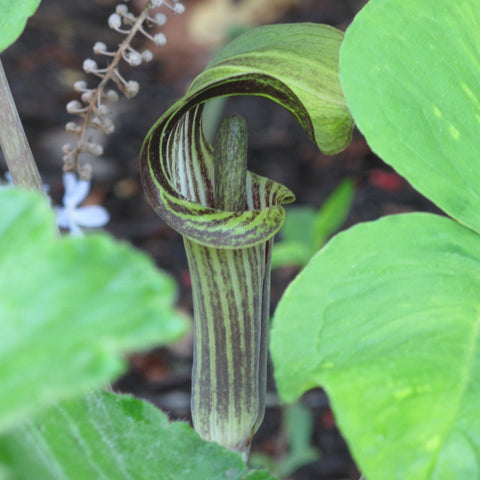 Arisaema triphyllum<h3>Jack-In-The-Pulpit</h3>