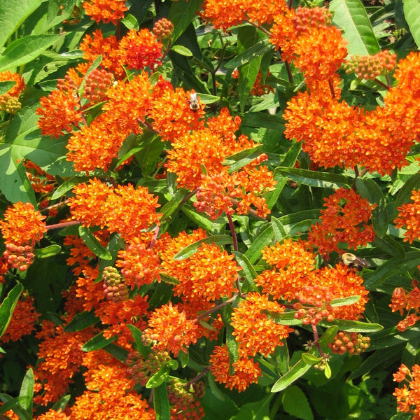 Asclepias tuberosa<h3>Butterfly Weed, Milkweed</h3>