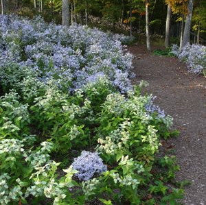 Purple perennials flowering perennials purple perennial flowers avondale wood aster mightylinksfo
