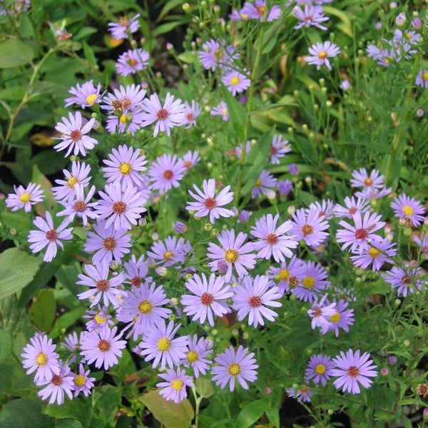 Purple perennials flowering perennials purple perennial flowers smooth aster mightylinksfo Image collections