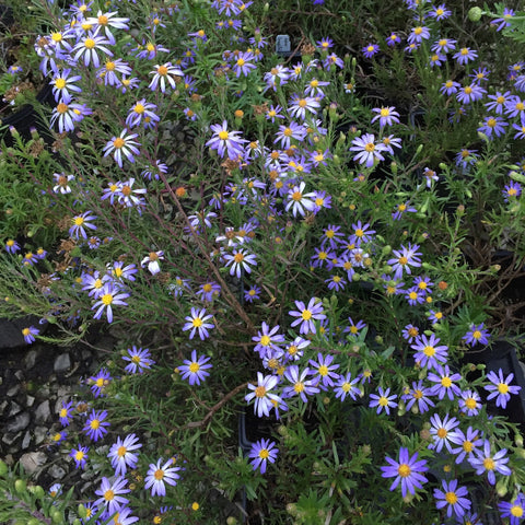Aster linariifolius<h3>Bristly Aster</h3>