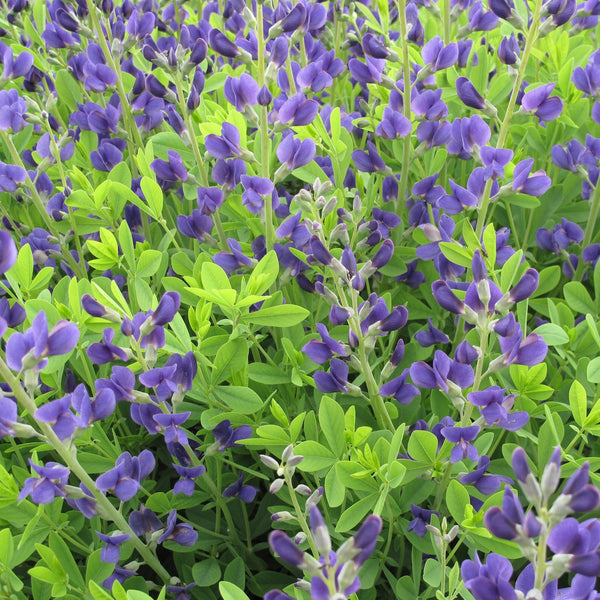 Purple perennials flowering perennials purple perennial flowers baptisia australish3blue wild mightylinksfo
