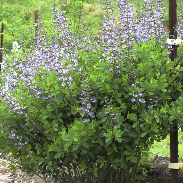 Baptisia x 'Purple Smoke'<h3>Indigo, Purple Smoke</h3>