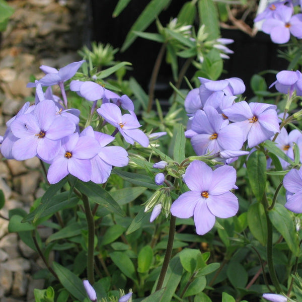 Phlox stolonifera 'Blue Ridge'<h3>Phlox, Blue Ridge </h3>