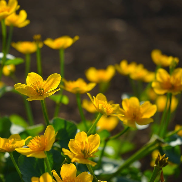 Caltha palustris<h3>Marsh Marigold</h3>