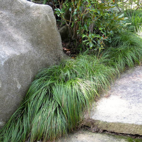 Carex pennsylvanica<h3>Sedge, Pennsylvania</h3>