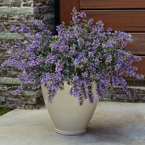 Nepeta faassenii 'Cat's Meow'<h3>Cat's Meow Catmint</h3>