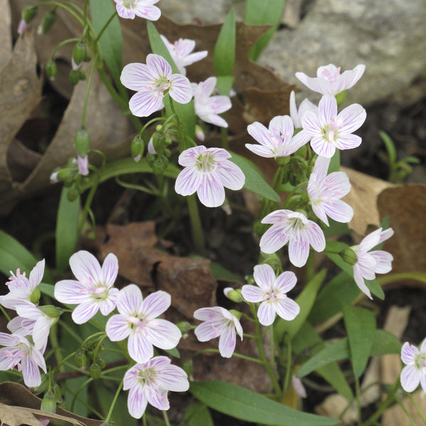 Claytonia virginica<h3>Spring Beauty</h3>