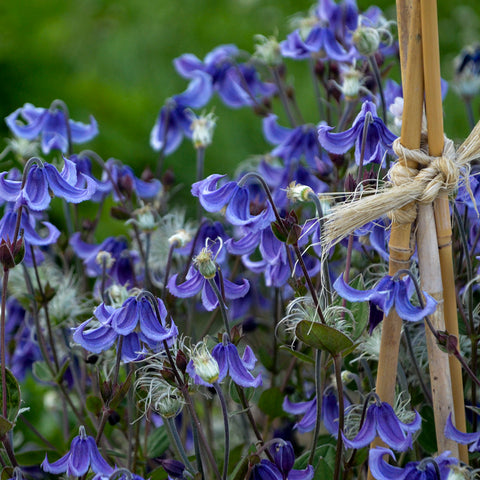 Clematis 'Stand by Me'<h3>Bush Clematis</h3>