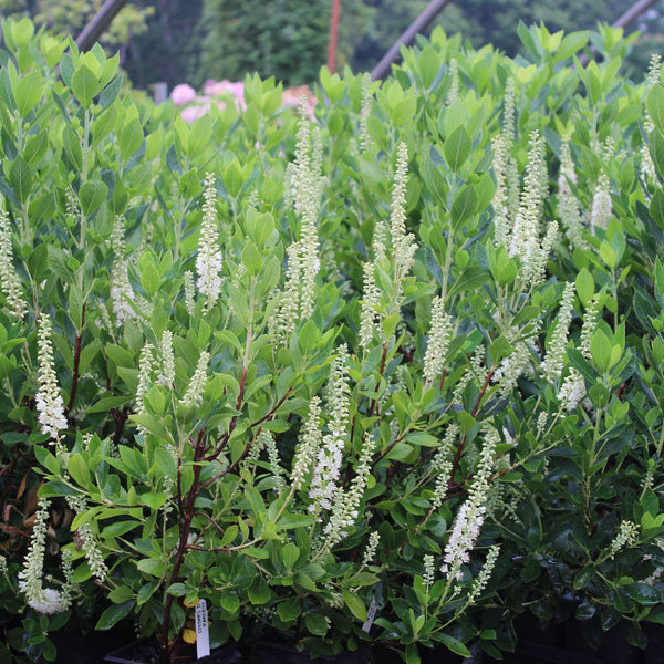 Clethra alnifolia 'Sixteen Candles'<h3>Summersweet, Sixteen Candles</h3>