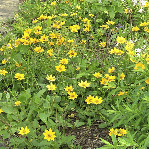 Coreopsis auriculata<h3>Eared Coreopsis</h3>