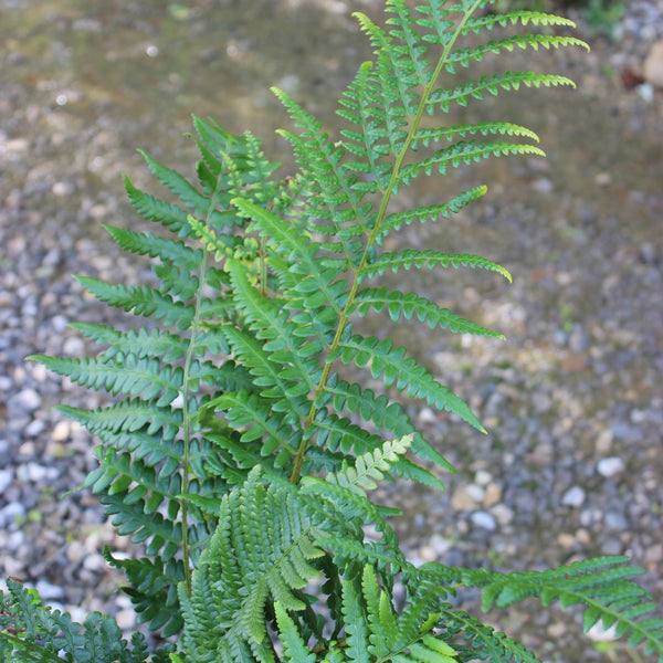 Dryopteris ludoviciana<h3>Fern, Southern Wood </h3>