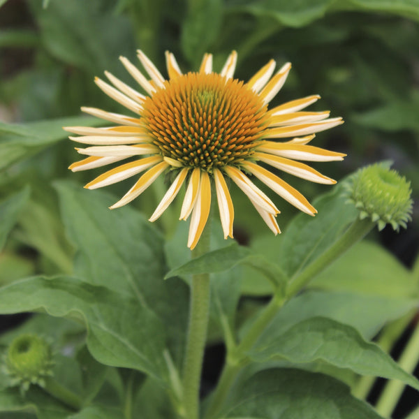 Echinacea x 'Harvest Moon'<h3>Coneflower, Harvest Moon</h3>
