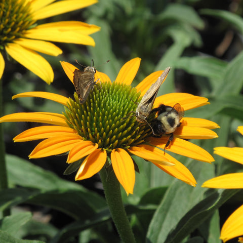 Echinacea x 'Now Cheesier'<h3>Coneflower, Now Cheesier</h3>