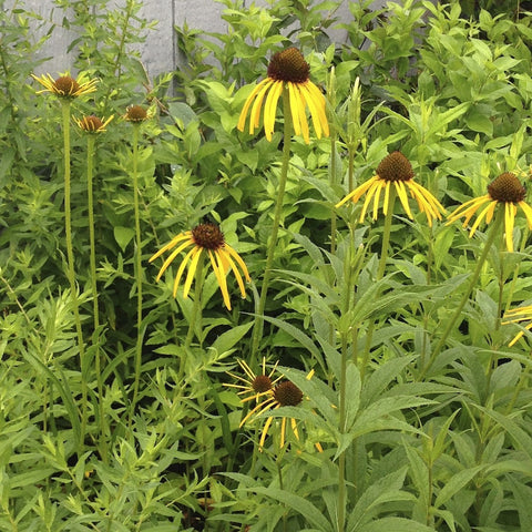 Echinacea paradoxa<h3>Coneflower, Yellow-Purple</h3>