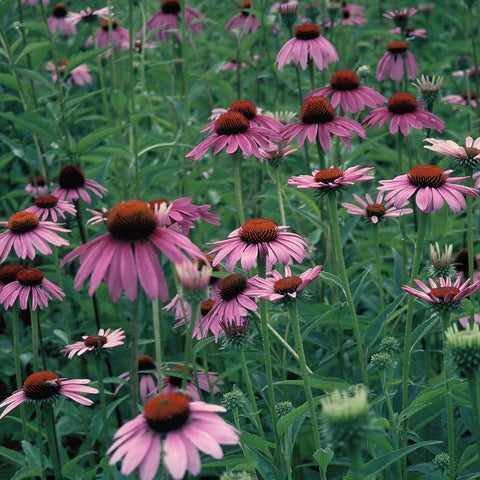 Echinacea purpurea<h3>Coneflower, Purple</h3>