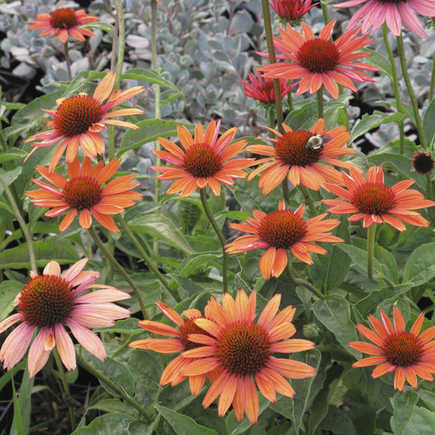 Echinacea x 'Sundown'<h3>Coneflower, Sundown</h3>