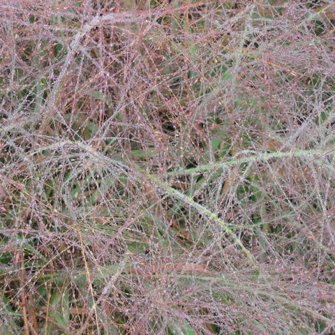 Eragrostis spectabilis<h3>Grass, Purple Love</h3>