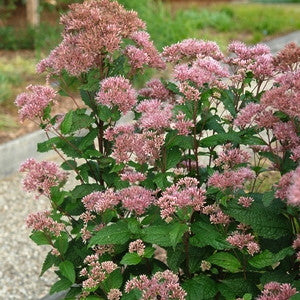 Eupatorium dubium 'Little Joe'<h3>Little Joe Joe Pye Weed</h3>