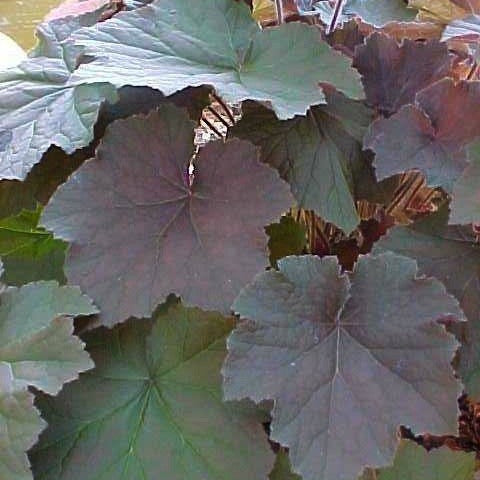 Heuchera villosa 'purple form'<h3>Alumroot, Purple</h3>