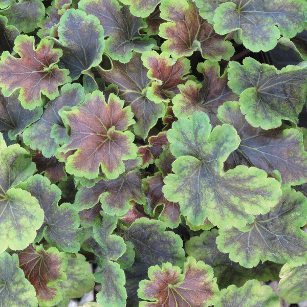 Heucherella 'Solar Eclipse'<h3>Foamy Bells, Solar Eclipse</h3>