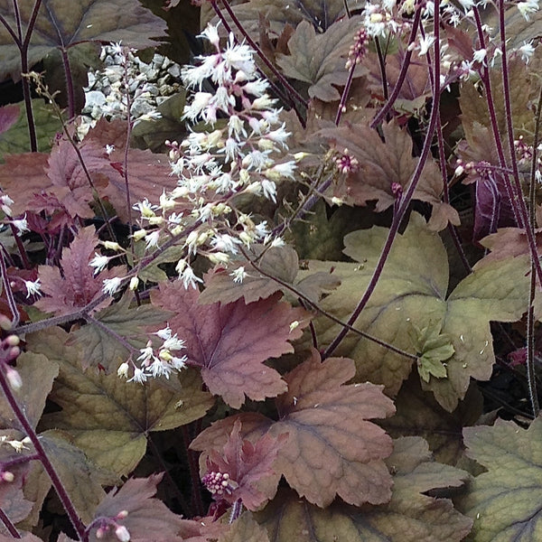 Heucherella 'Sweet Tea'<h3>Foamy Bells, Sweet Tea</h3>