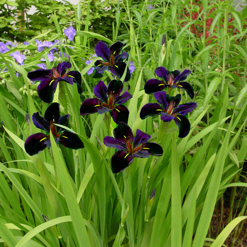 Iris  'Black Gamecock'<h3>Louisiana Iris</h3>