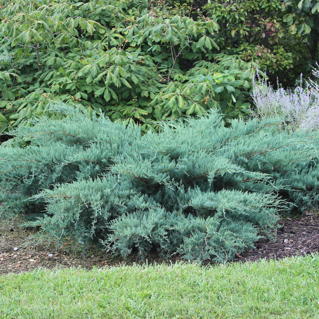 Juniperus Virginiana Poyo Poyo Eastern Red Cedar Sunlight Gardens