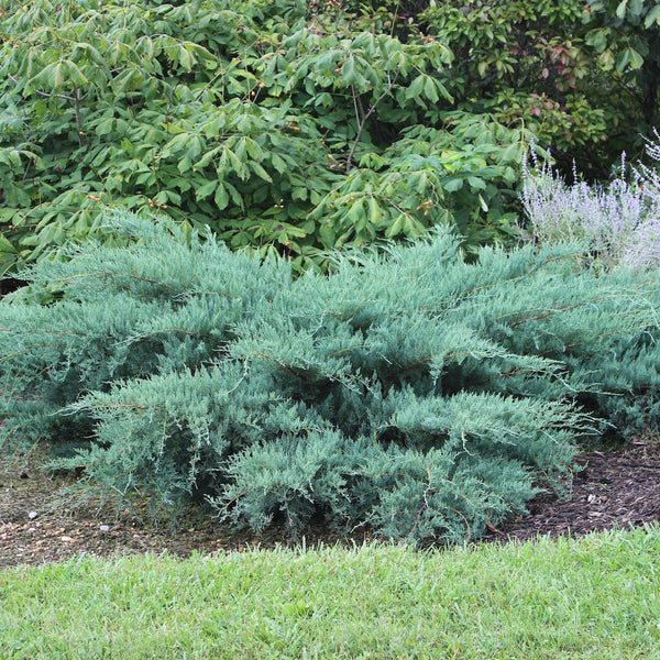 Juniperus virginiana 'Poyo'<h3>Poyo Eastern Red Cedar</h3>