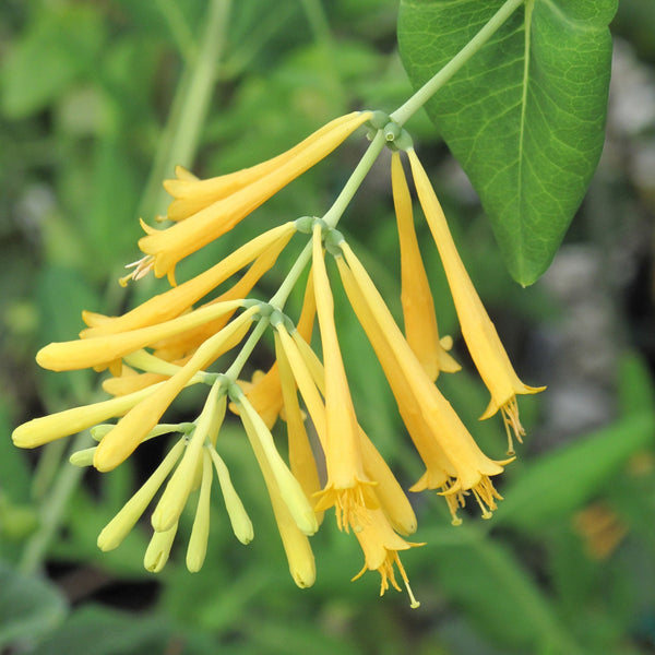Lonicera sempervirens 'Sulphurea'<h3>Honeysuckle, Yellow Coral</h3>