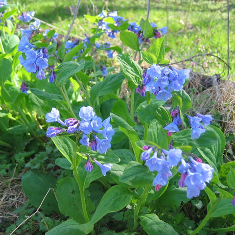 Mertensia virginica<h3>Virginia Bluebells</h3>