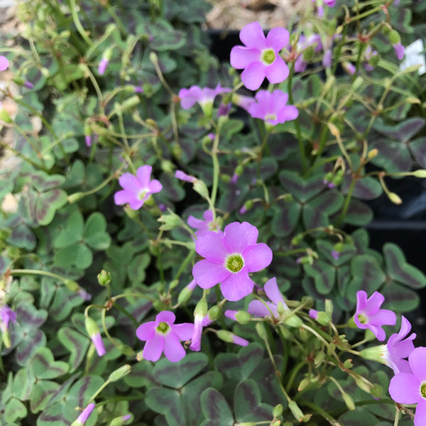 Oxalis violacea 'Love in Vein'<h3>Wood Sorrel, Wild Shamrock</h3>