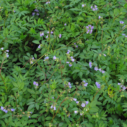 Polemonium reptans<h3>Jacob's Ladder</h3>