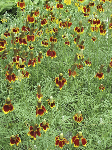 Ratibida columnifera 'Red Midget'<h3>Mexican Hat Plant</h3>