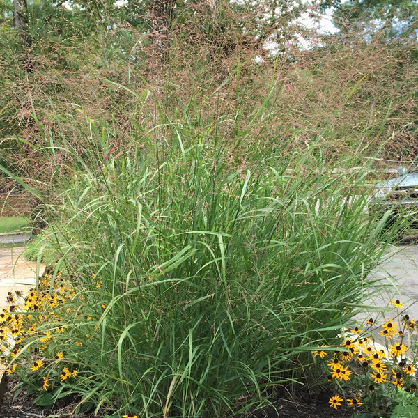 Panicum 'Rehbraun'<h3>Grass, Red Switch</h3>