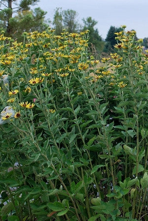 Rudbeckia subtomentosa 'Little Henry'<h3>Sweet Coneflower</h3>