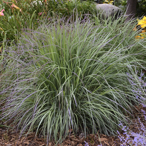 Schizachyrium scoparium 'Twilight Zone'<h3>Little Bluestem</h3>
