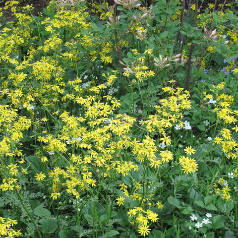 Senecio aureus<h3>Golden Groundsel</h3>