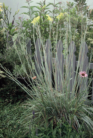 Schizachyrium scoparium 'The Blues'<h3>The Blues Little Bluestem</h3>