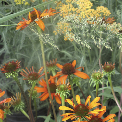 Echinacea x 'Tiki Torch'<h3>Coneflower, Tiki Torch</h3>