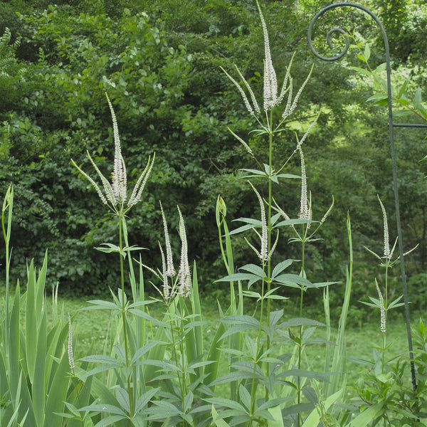 Veronicastrum virginicum<h3>Culver's Root</h3>