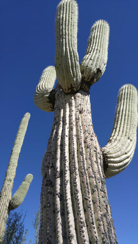 """Desert Giant"" Saguaro Cactus Print by Heather Brown GGandJ.com"
